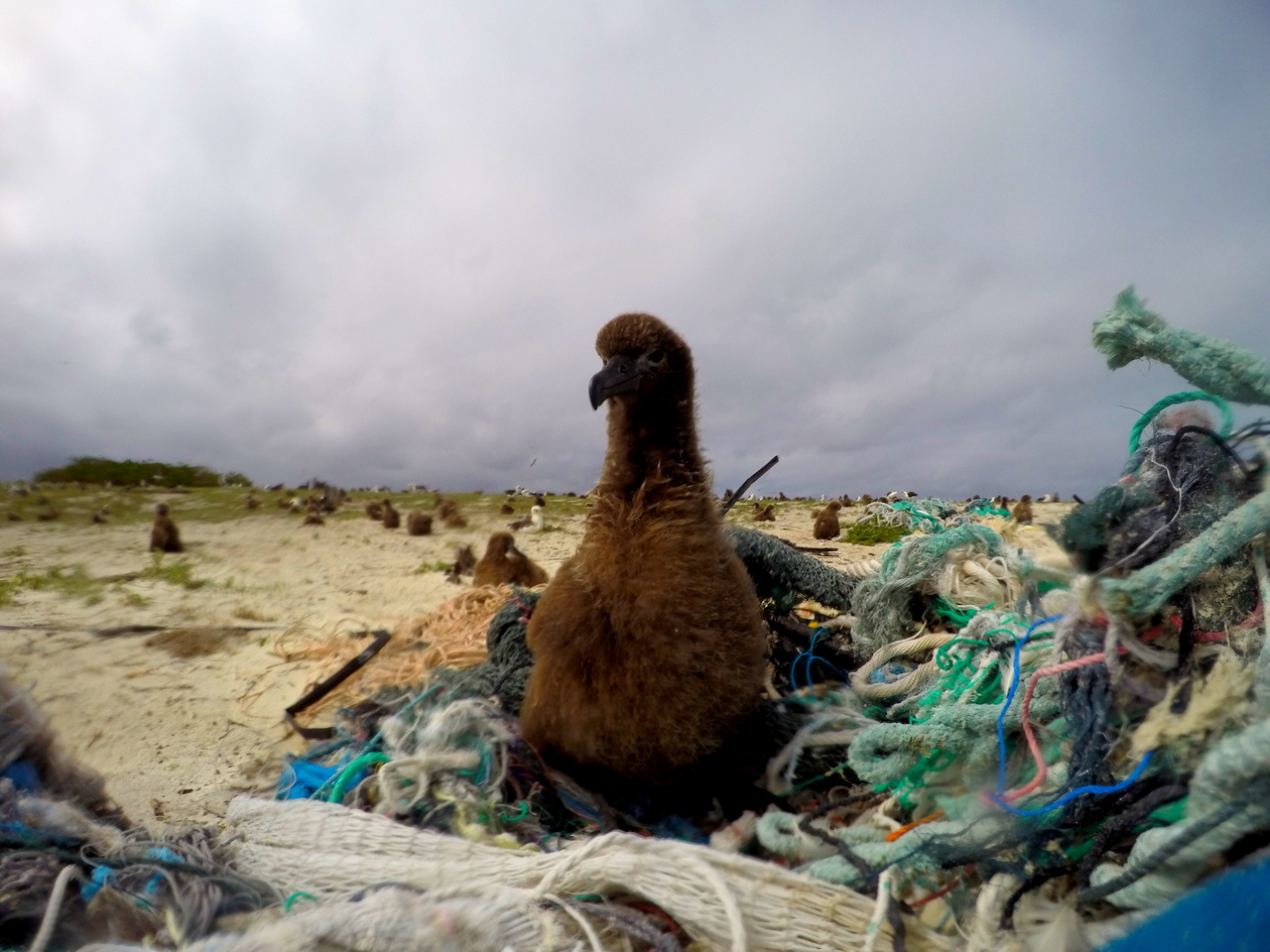 On April 15, 2016, the team members started removing derelict fishing gear and plastics from the shorelines of Eastern Island. A Laysan Albatross chick was found perching on a pile of derelict fishing net. Photo: NOAA Fisheries