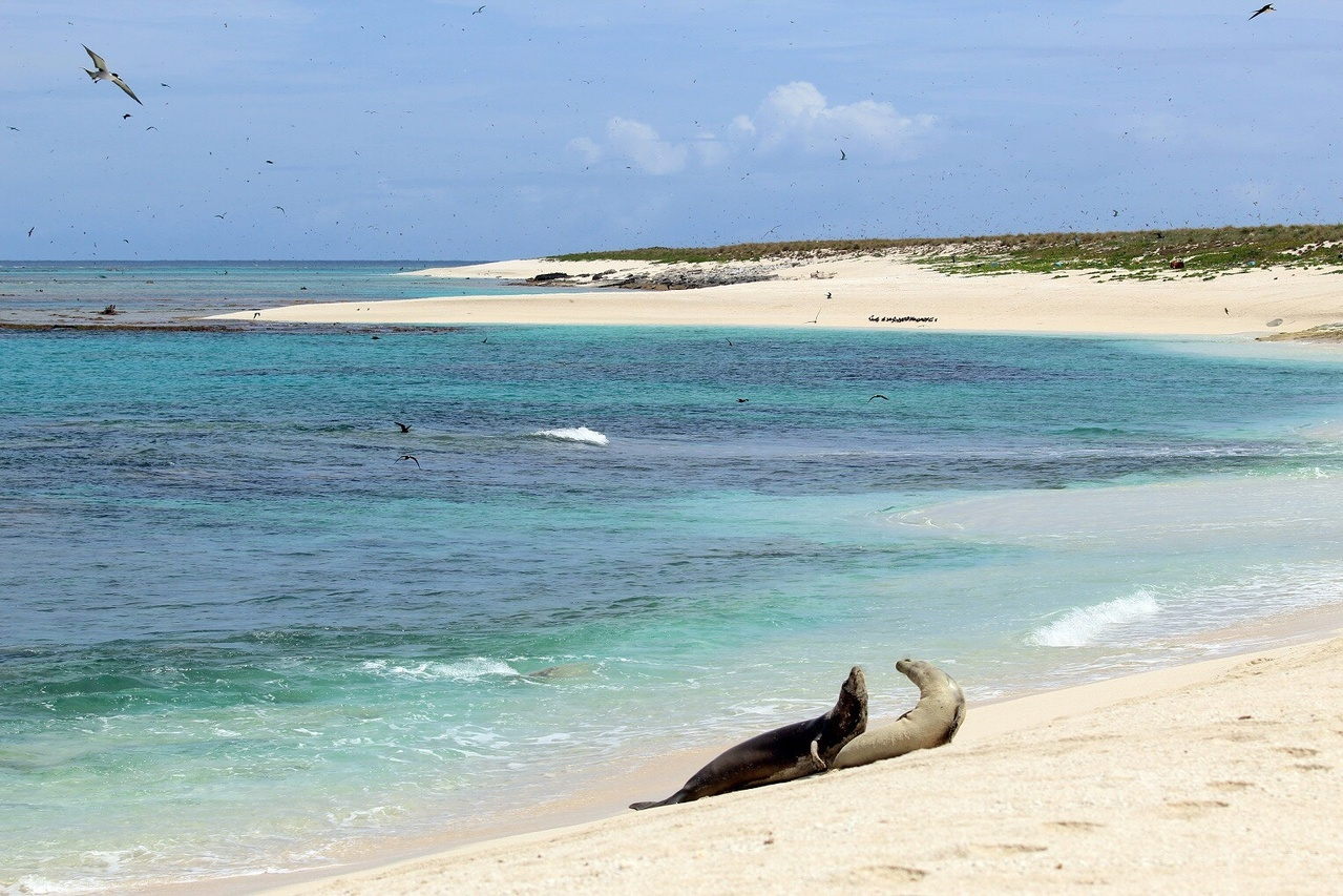 Two monk seals on the beach at Laysan.
