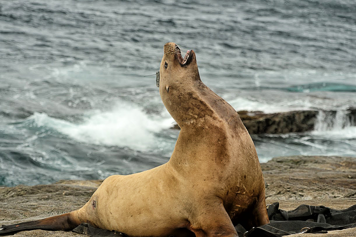 Steller sea lion, - Credit:  NOAA Fisheries/Kathryn Sweeney.