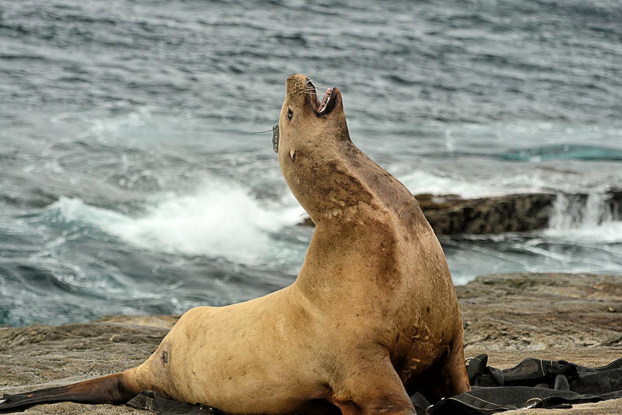 Steller sea lion, - Credit: NOAA Fisheries/Kathryn Sweeney.