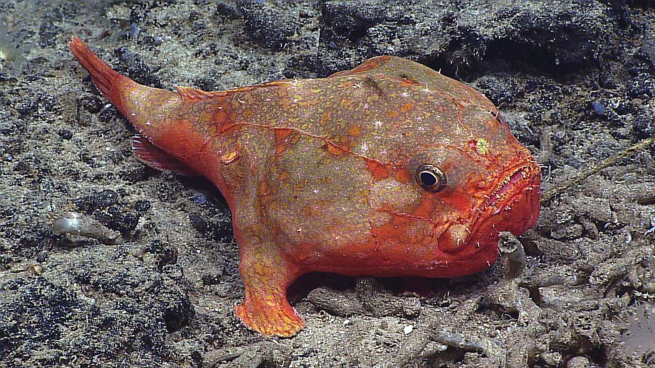 Chaunax umbrinus