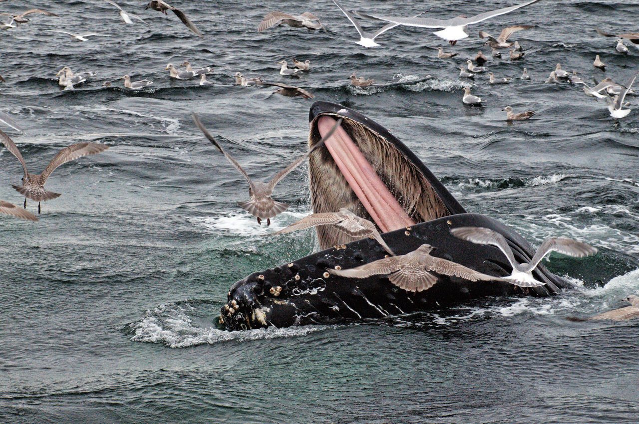 Humpback Whale in Prince Williams Sound, All photographs were taken under NMFS ESA MMPA Permit number 18529