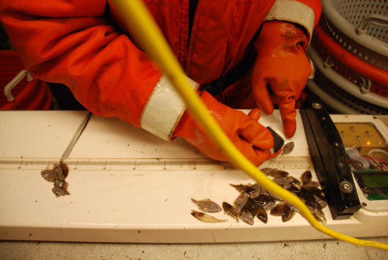 Scientists measure newly settled flatfish