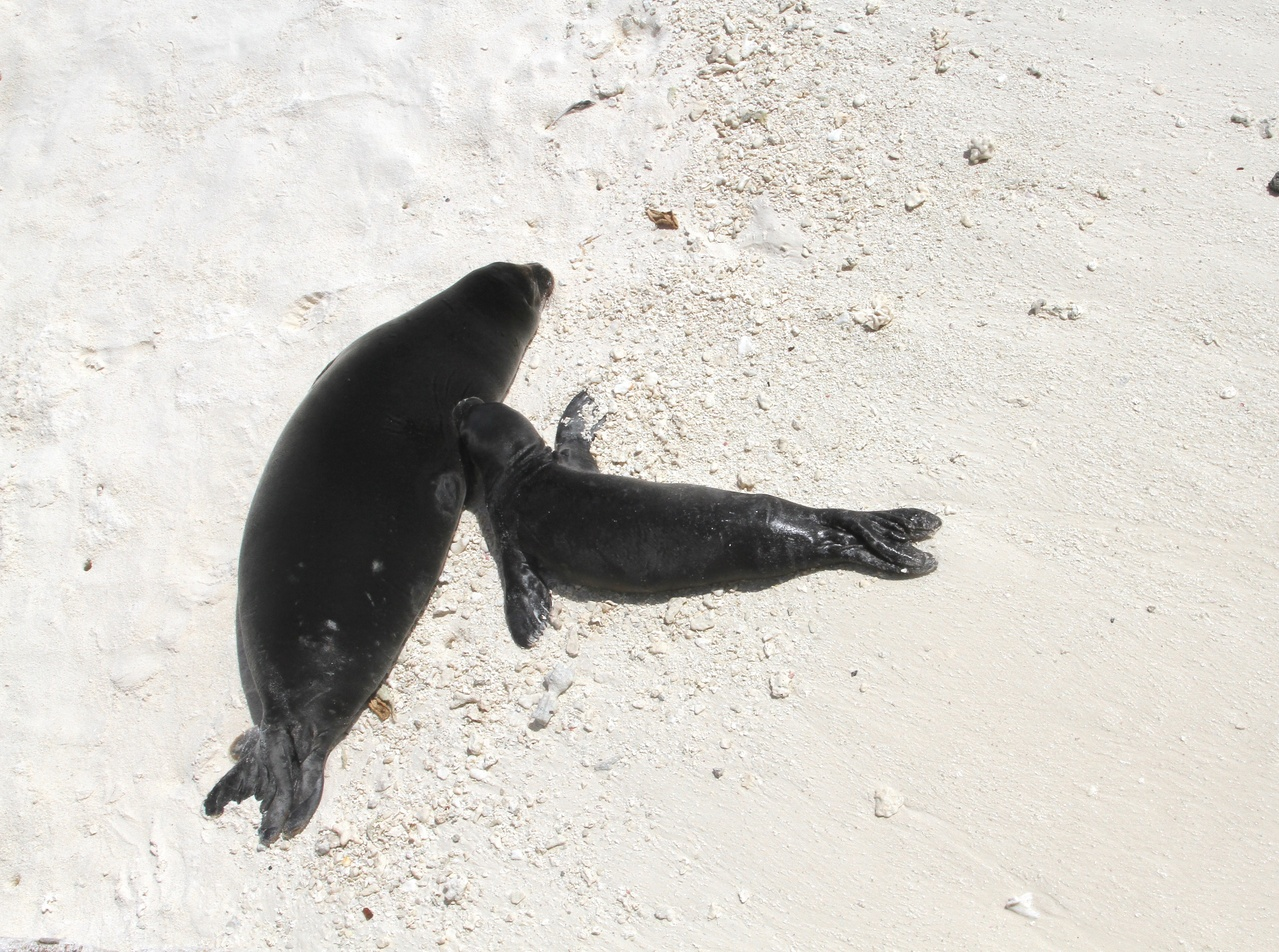 Two monk seal pups resting on the shore.