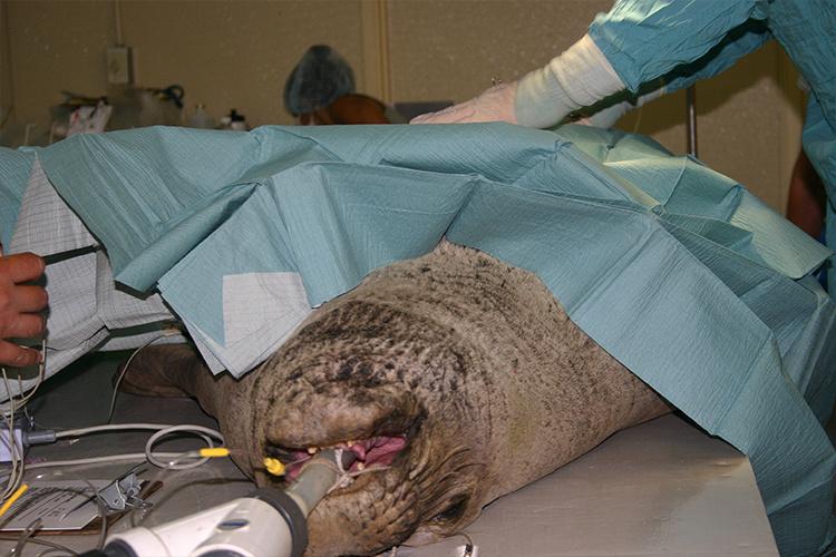 Hawaiian monk seal getting surgery.