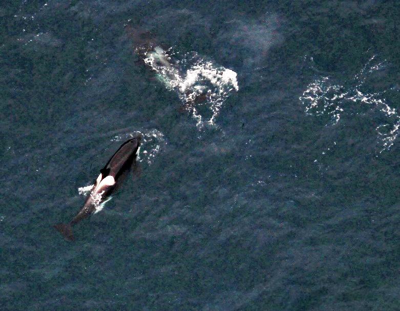 Four killer whales, or orcas. Photo taken by: Suzie Hanlan, NOAA/NMFS/AFSC/MML