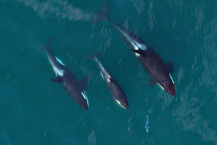 Killer whales chasing salmon
