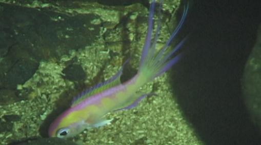 Grammatonotus ambiorthus found in the mid rariphotic