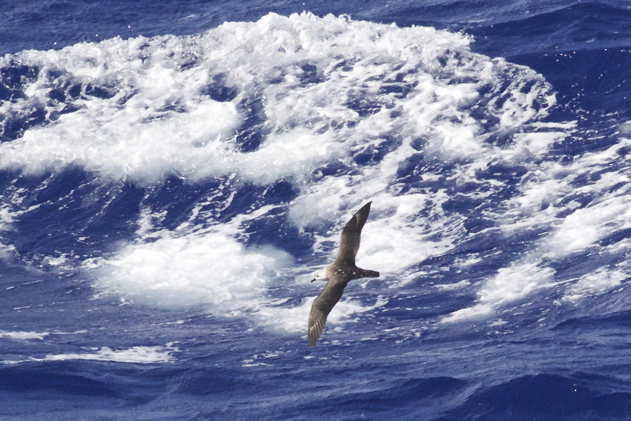 A light morph Kermadec Petrel swoops down the face of a breaking swell in a 33 knot Beaufort 7 sea. These masters of the air are completely at ease in conditions that can bring visual survey effort to a halt. This polymorphic species, meaning there are different colour types, is a widespread denizen of the tropical and sub-tropical Pacific Ocean from Australia to islands off Chile. It is a sporadic visitor to Hawaiian waters, primarily in winter. Birds have been seen inspecting potential nest sites at Kilauea Point, Kauai. Photo: NOAA Fisheries/Michael Force.