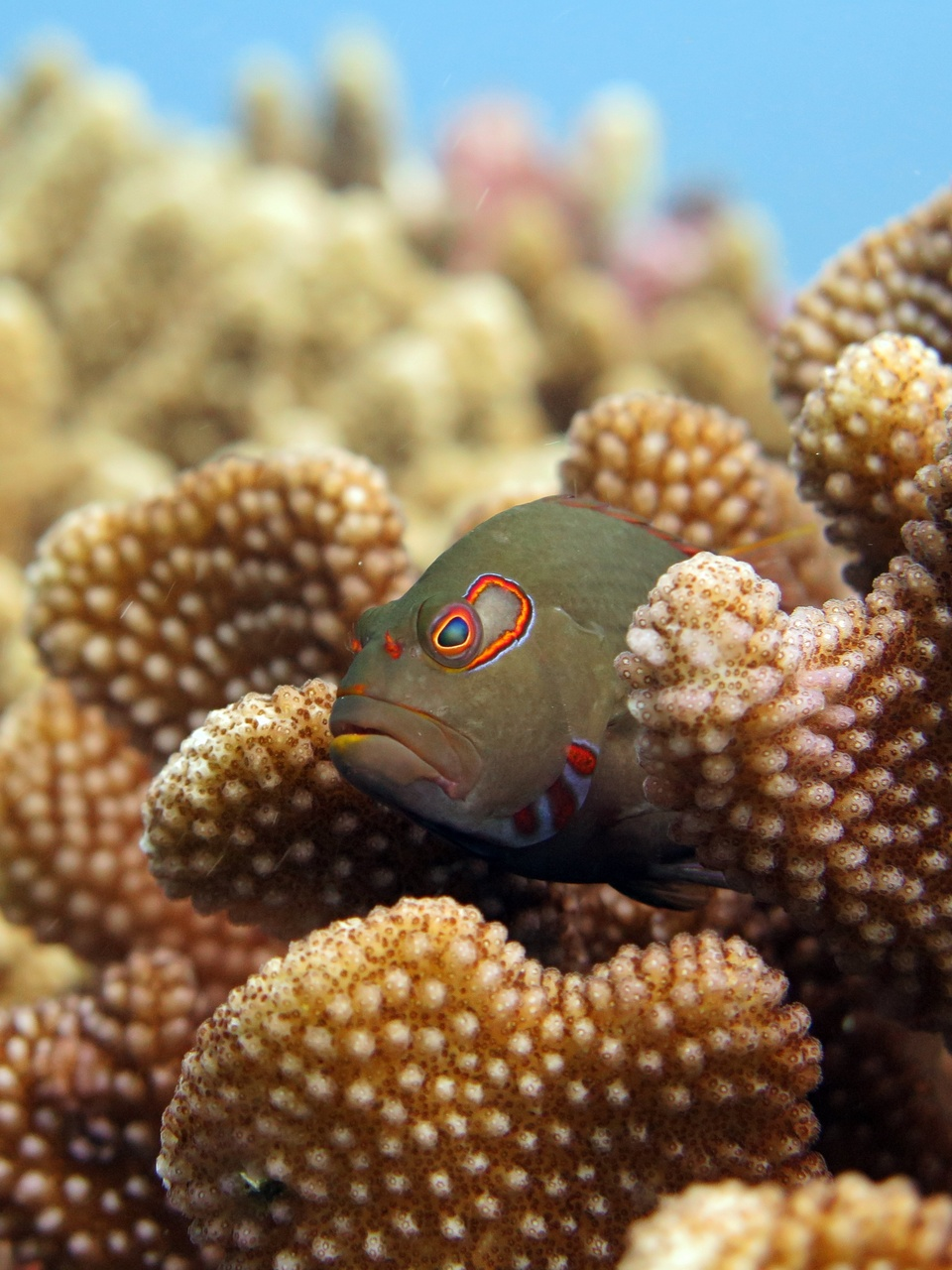 An arc-eye hawk fish perches on a head of Pocillopora coral. These predators lie in wait for unsuspecting small fishes and crustaceans to swim by, but if something bigger shows up, they are quick to dart into the safety of the coral branches. (Photo: NOAA Fisheries/Ari Halperin)