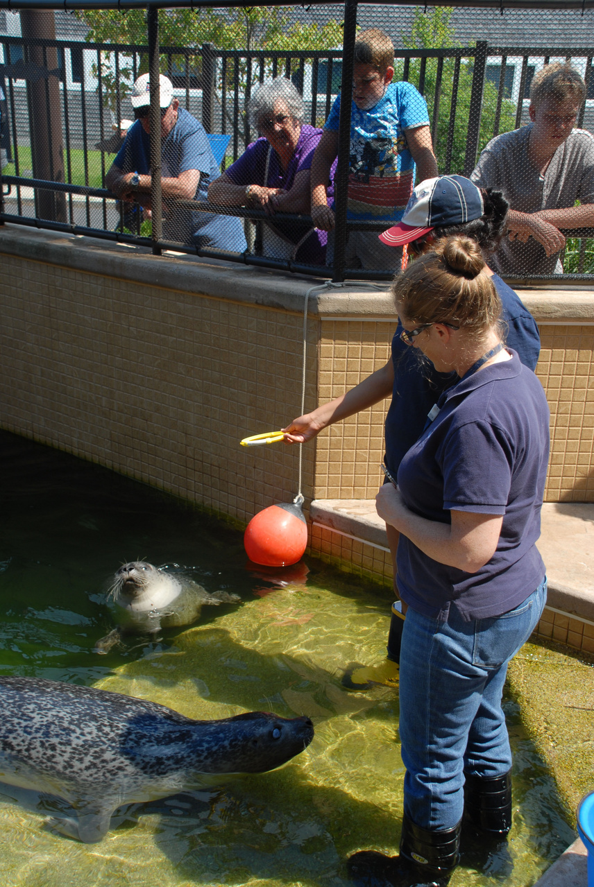 Staff feeding and exercising seals in the outdoor tank