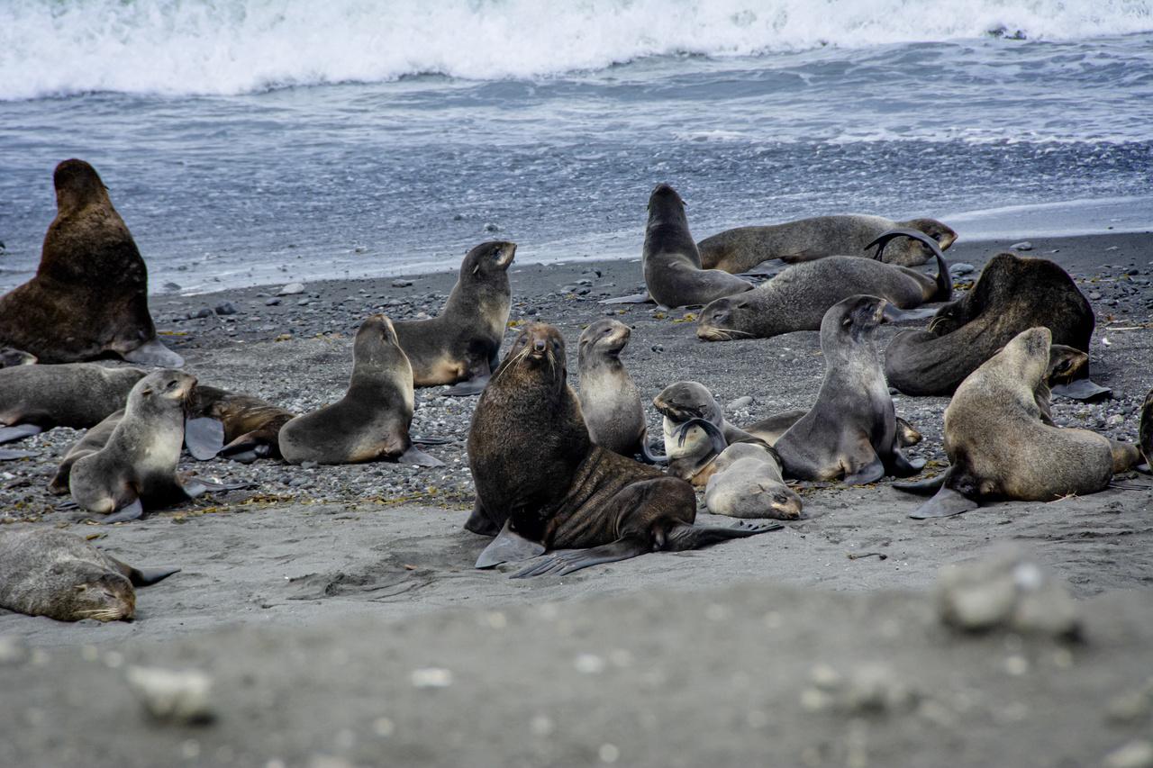 Northern fur seals on Bogoslof Island.