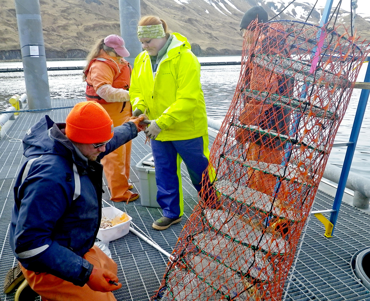 Jeff Cox (Bering Sea Fisheries Research Foundation) (left), Pam Jensen (NOAA Fisheries), Sarah Johnson (Alaska Department of Fish and Game Observer), and Nick Ellickson (Alaska Department of Fish and Game Observer) measuring molted crabs. Jeff, Pam, Sarah and Nick have retrieved a lantern net and have hung it on a ladder for easy access at the dock. Jeff has removed a new-shelled crab from its compartment and is handing it to Sarah for measurement.