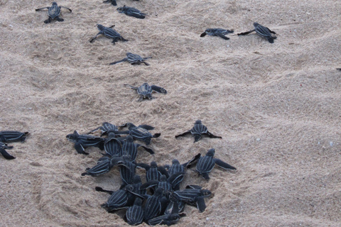 750x500-new-leatherback-hatchlings-at-sandy-point.jpg