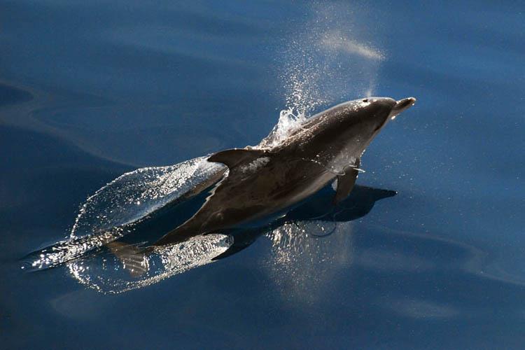 atlantic-spotted-dolphin-NEFSC.jpg