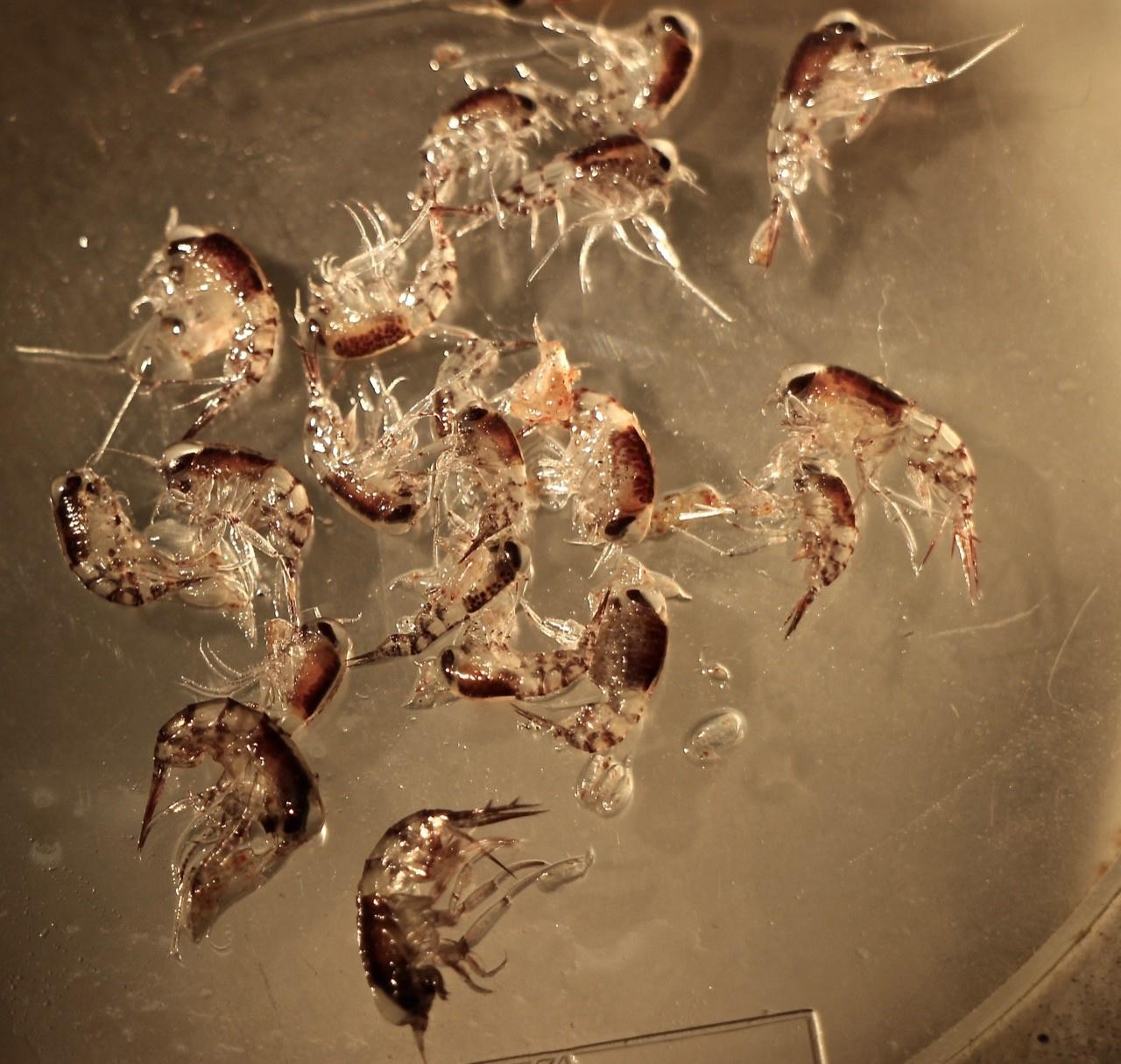 pelagic-amphipods-ecomon-walsh.jpg
