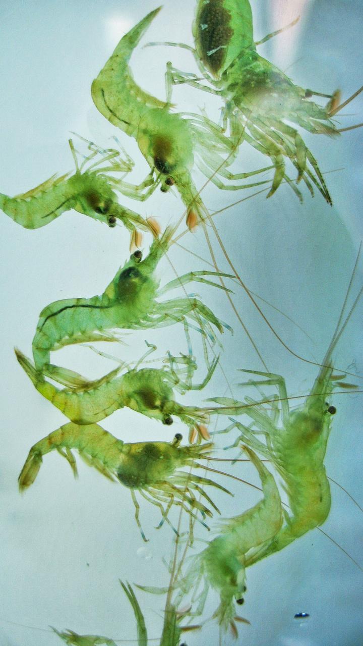 Sitka Shrimp