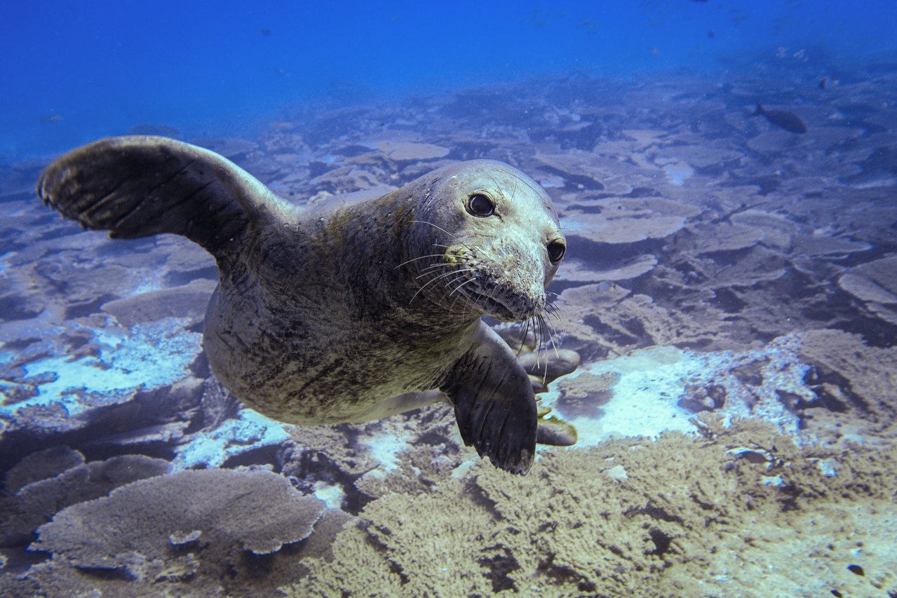 Hawaiian monk seal swimming