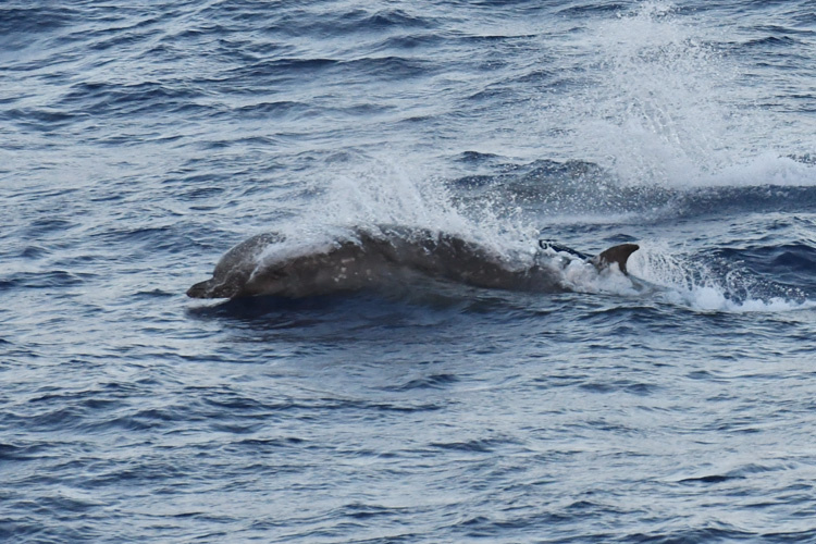 750x500-longmans-beaked-whale-surfacing.jpg