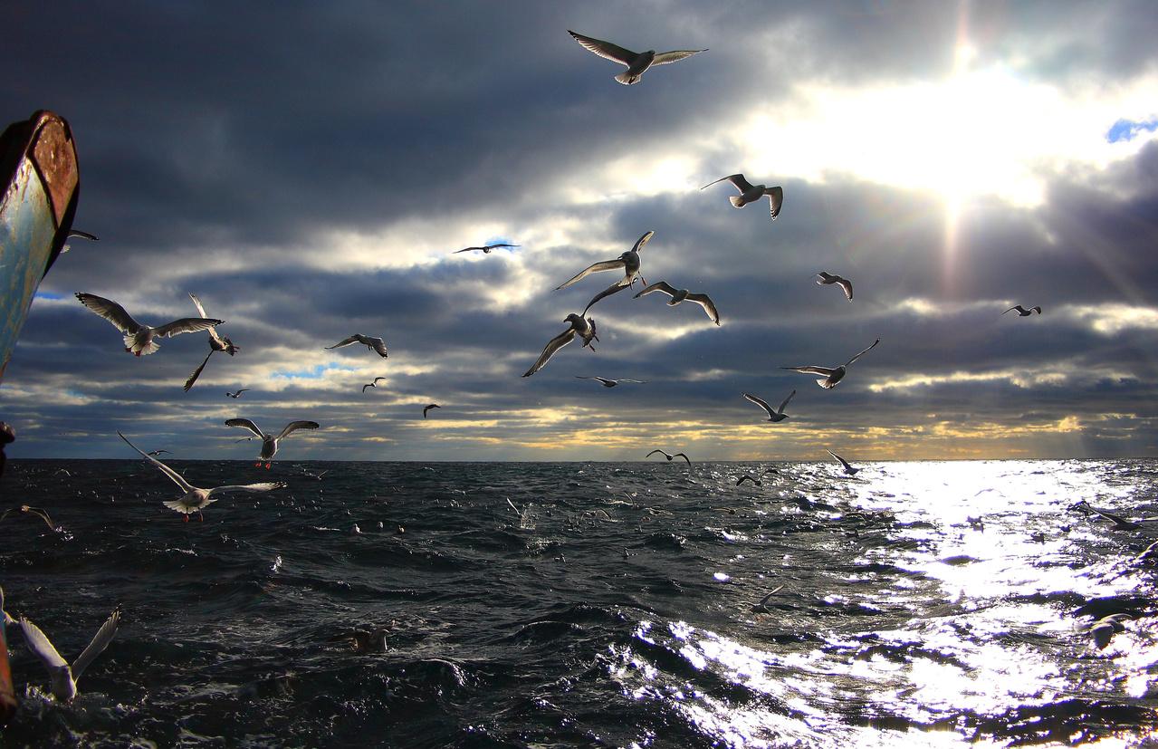 Seagulls flying behing boat.