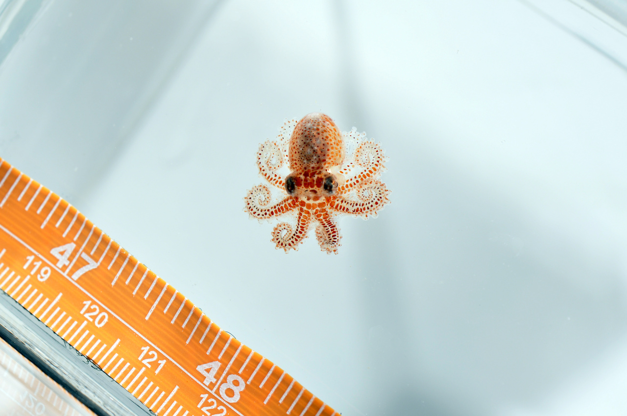 Baby octopus found on an Autonomous Reef Monitoring Structure in American Samoa