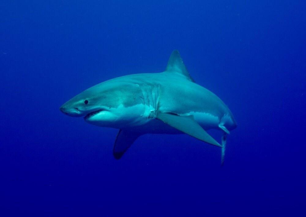 white-shark-greg-skomal.jpg