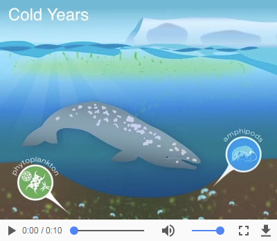 The gray whale's Arctic foraging grounds under cold conditions graphic