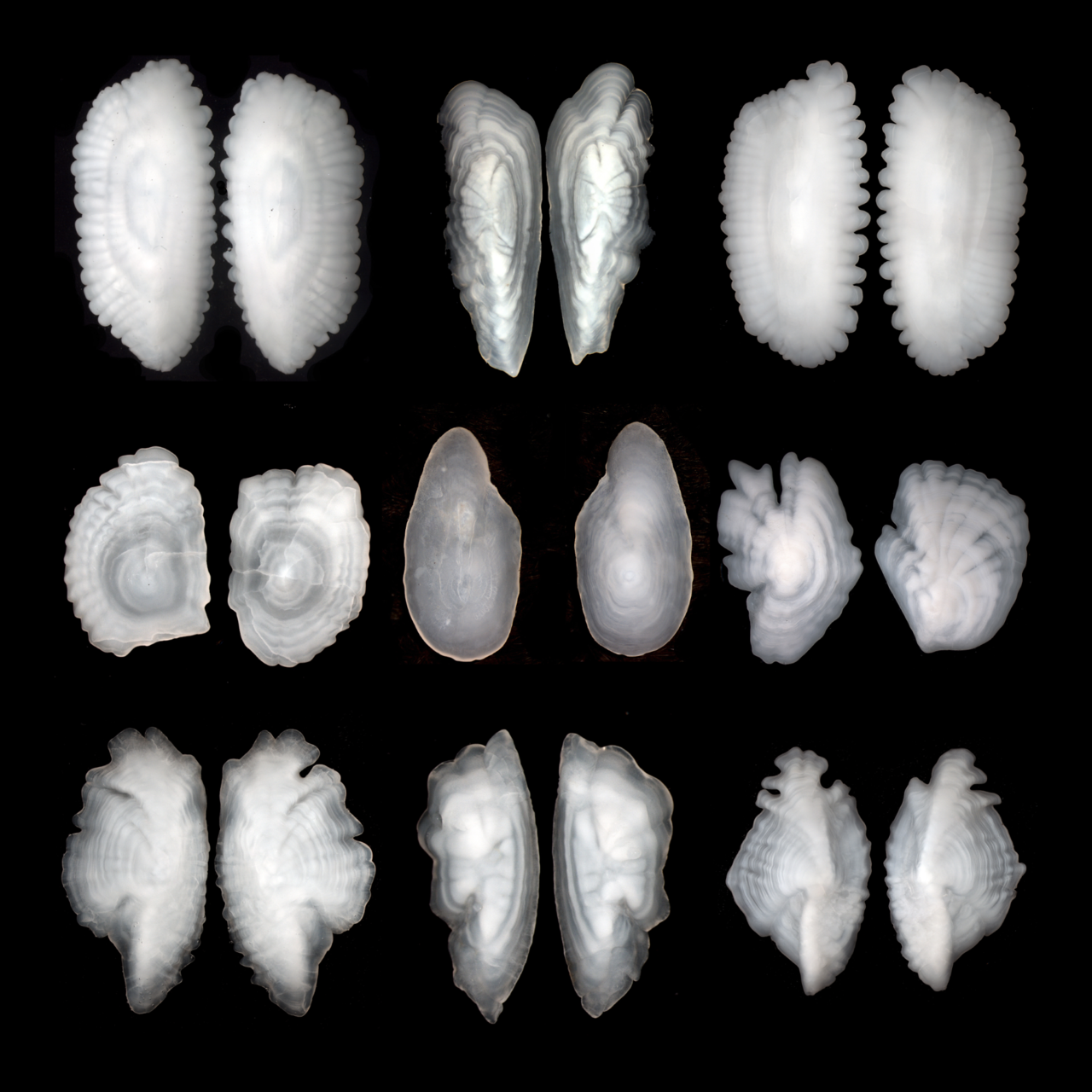 Photo of 9 otolith pairs.