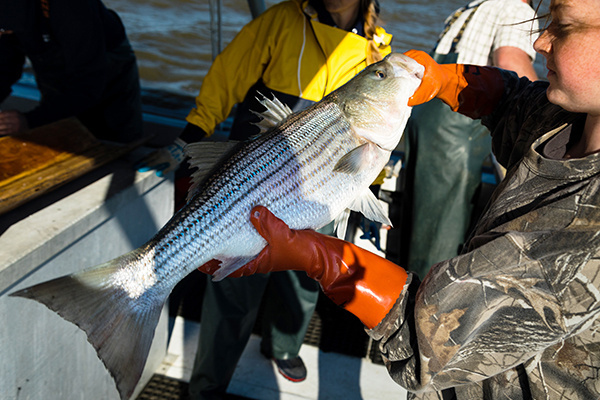 volunteer holds striped bass during annual Chesapeake Bay survey