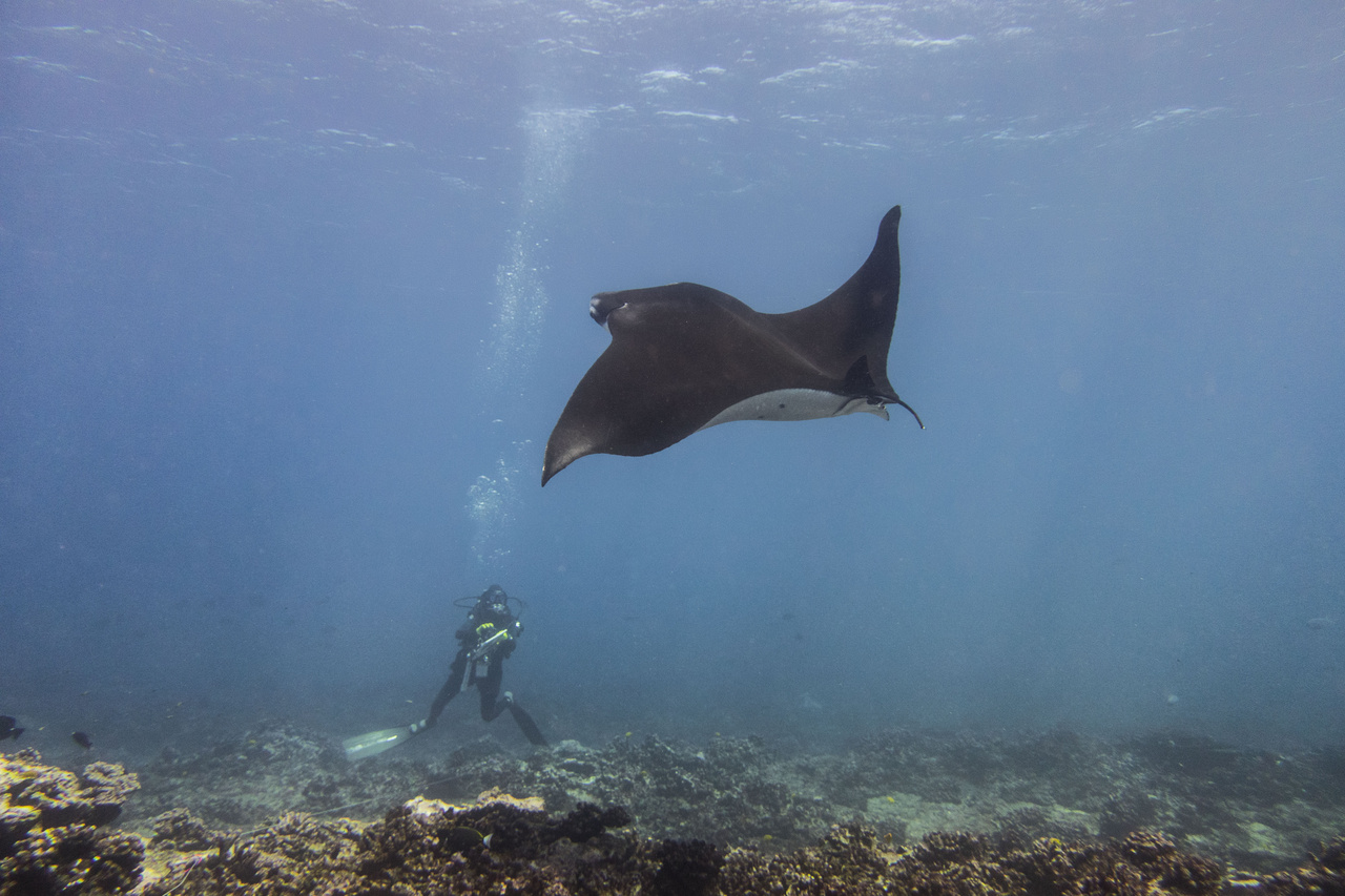 NOAA Ship Hi'ialakai arrived at Jarvis Island, and scientists jumped right back in the water. Here is a shot of a scientist encountering a manta ray during the fish survey. (Photo: NOAA Fisheries/Rebecca Weible)