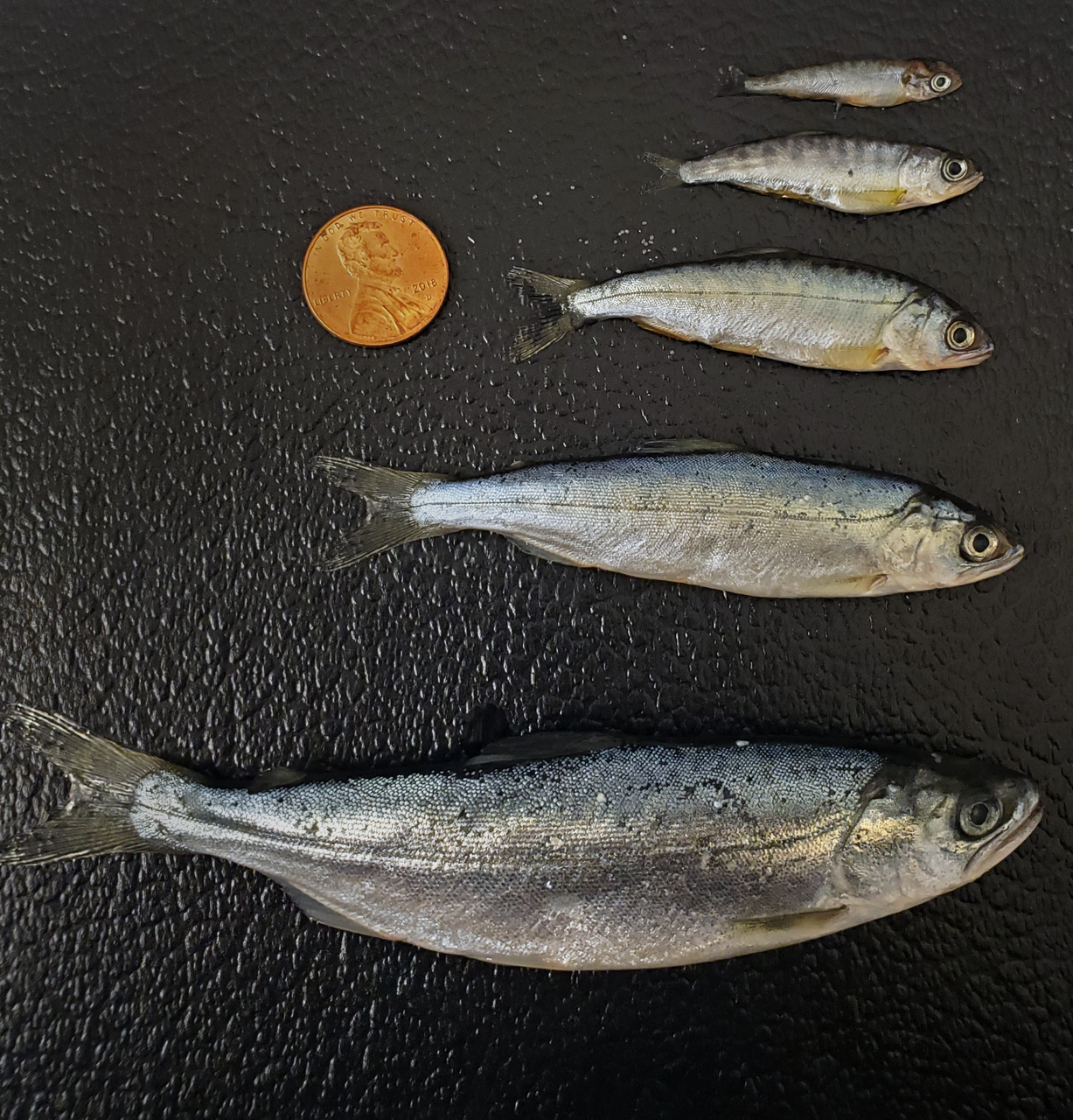 Display of multiple chinook salmon to show life history diversity.