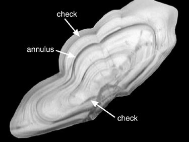 Figure 3. A ring pattern indicative of a 1-year old fish illustrates the difficulty of ageing young Pacific cod.