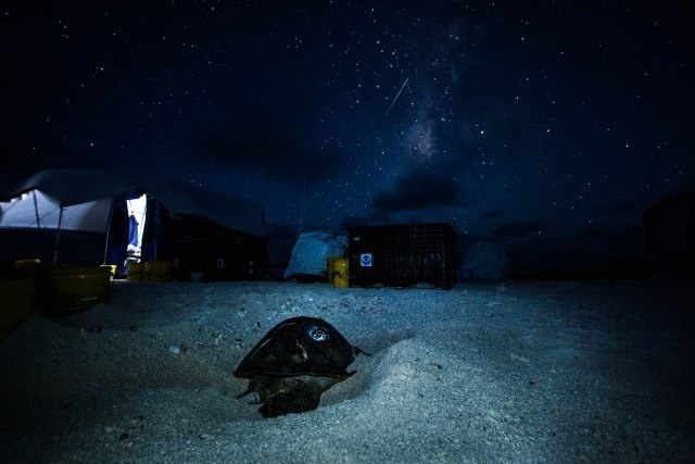 Sea turtle #252 digs a nest in front of the East Island camp. Photo: NOAA Fisheries/Jan Willem Staman.