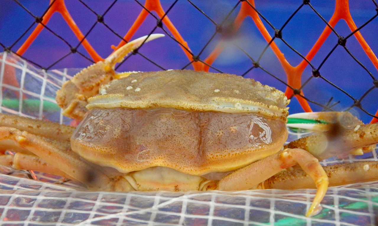 Both photos above show a crab in the process of molting by backing out of its old shell.
