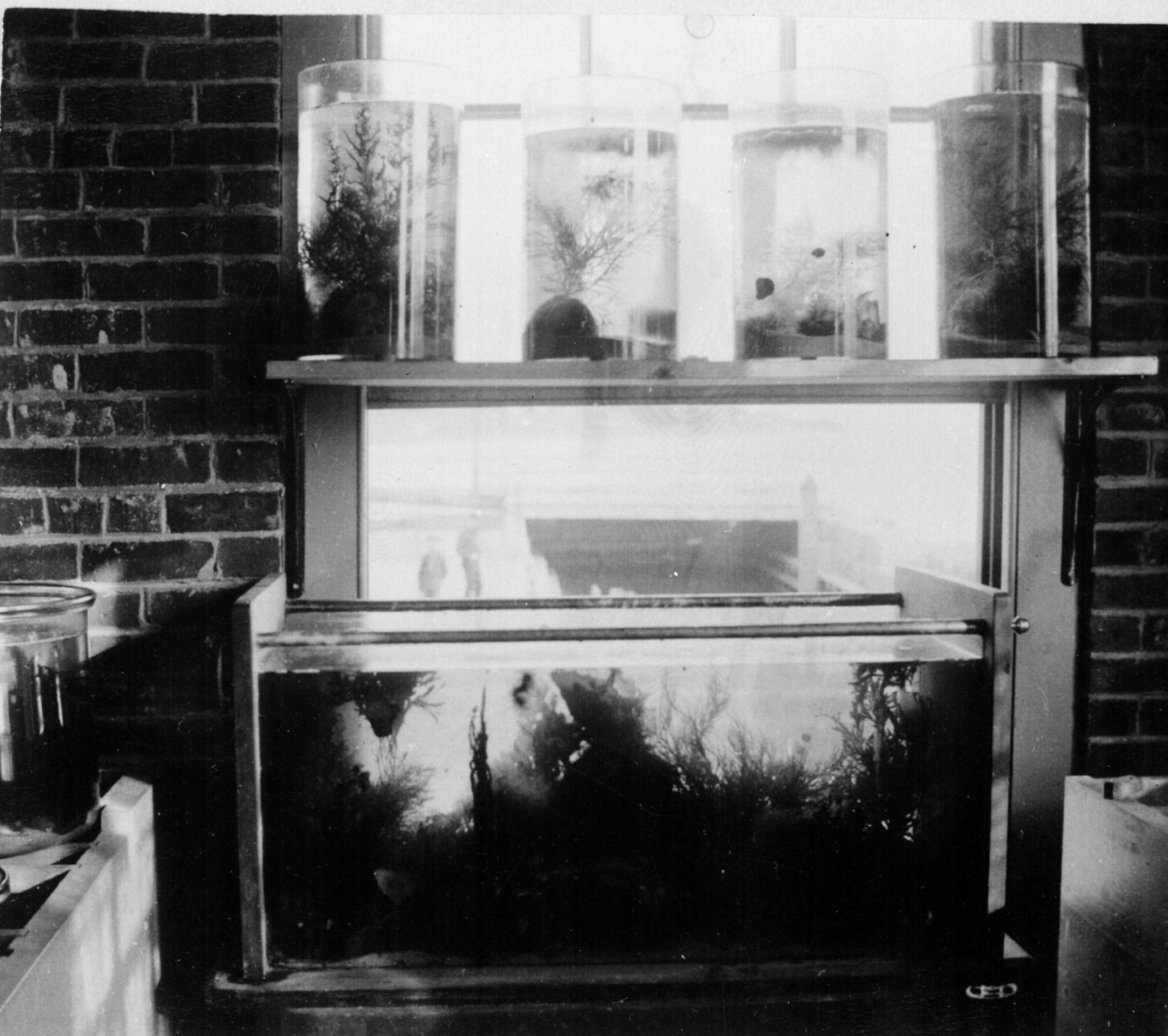 Black and white photo of McDonald Jar aquaria on shelf in front of window and square aquaria on floor beneath them.