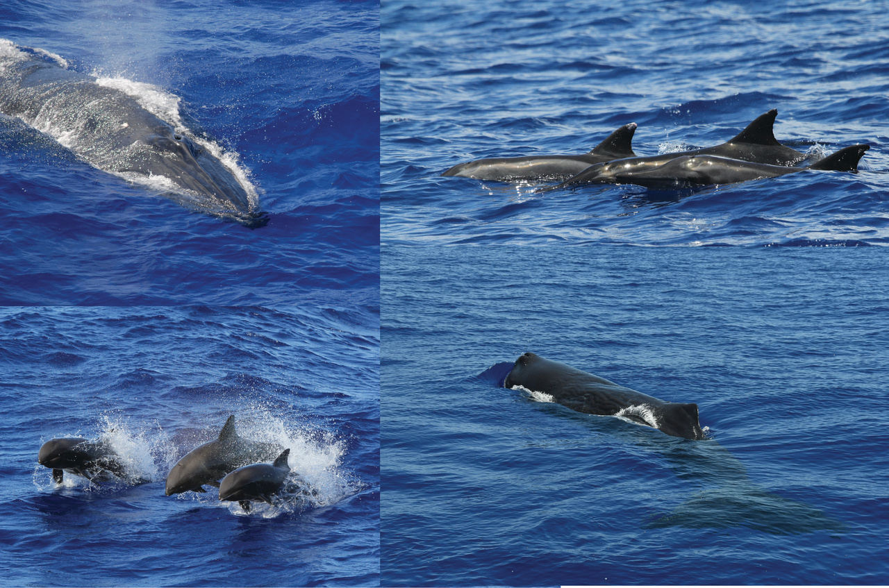Cetaceans likely seen on MACS (Bryde's whale, rough-toothed dolphins, melon-headed whales, and sperm whale).