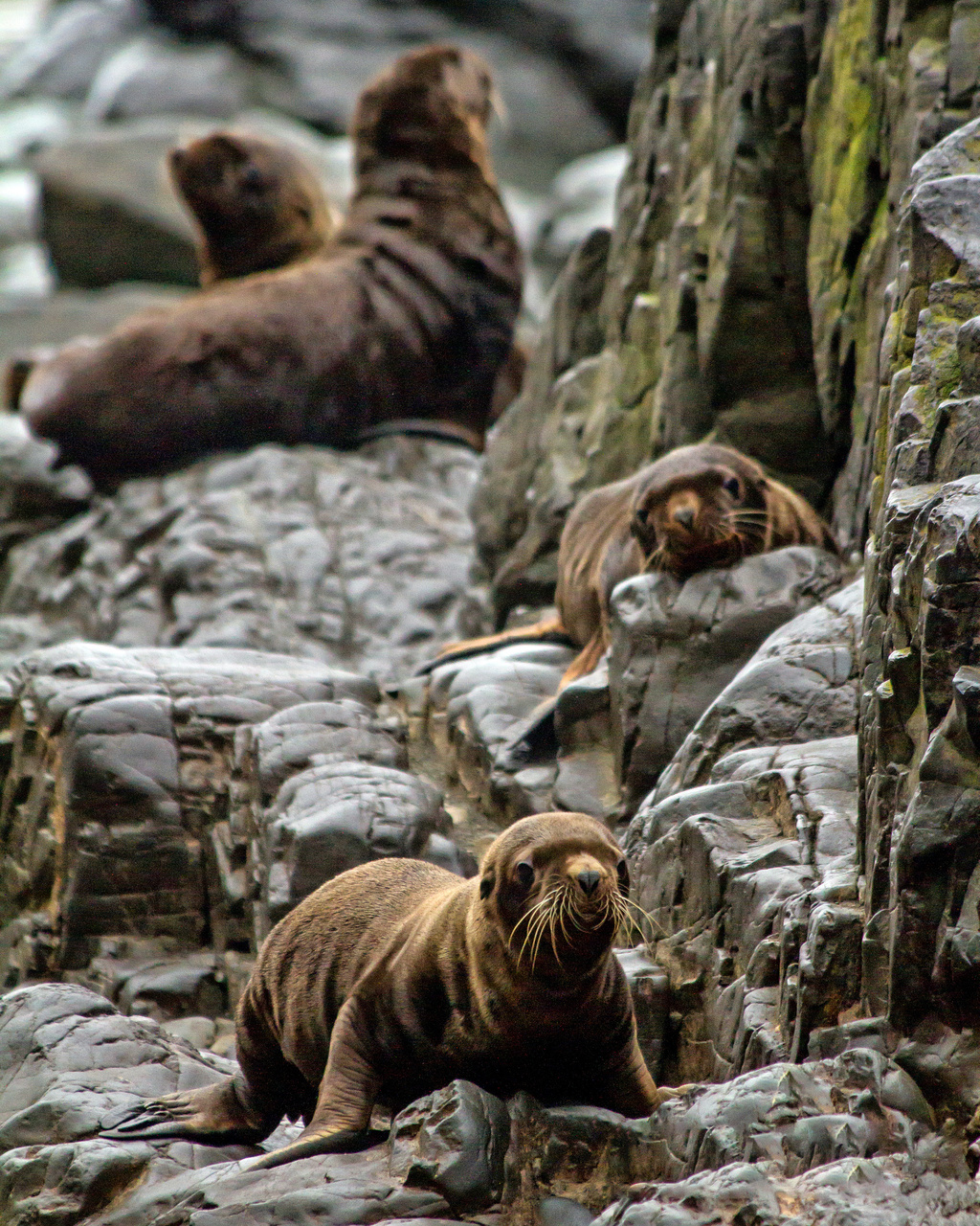 Steller sea lion, NMFS ESA/MMPA Permit #18528, IUCUC number A/NW2013-2, Credit: Kristin Campbell, NOAA Fisheries