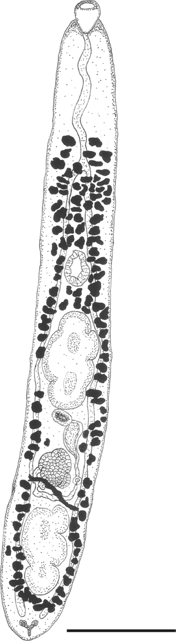 amphiorchis_stacyi_illustration.png