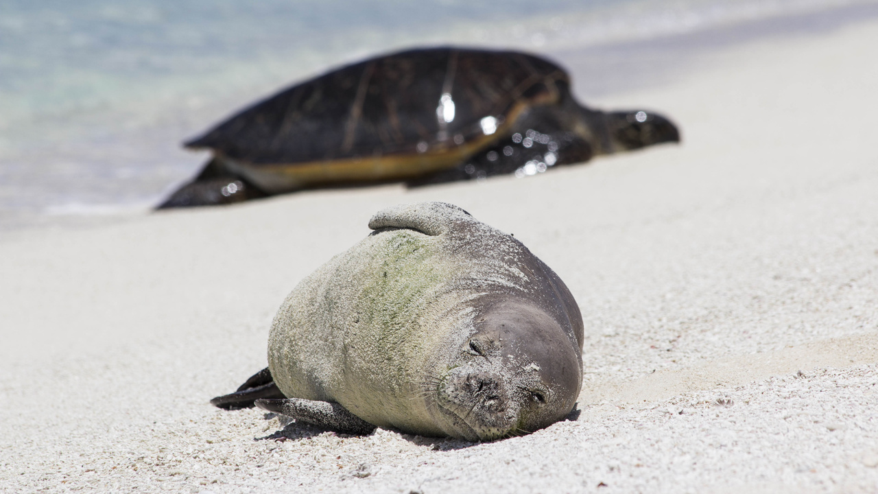 A Hawaiian monk seal and sea turtle at French Frigate Shoals.