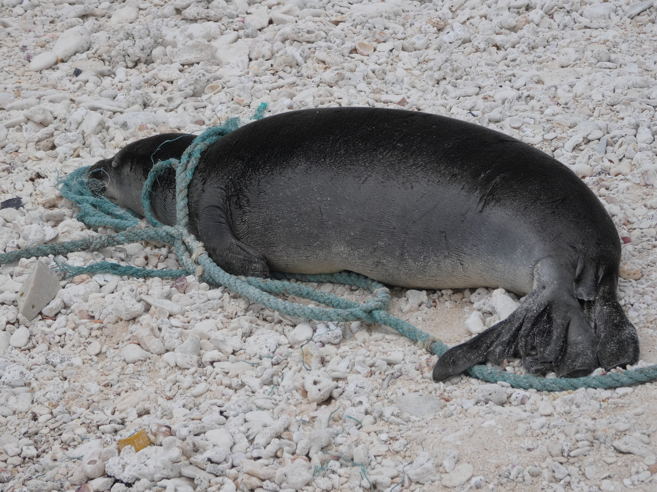 A Hawaiian monk seal entangled in a line on Laysan Island.