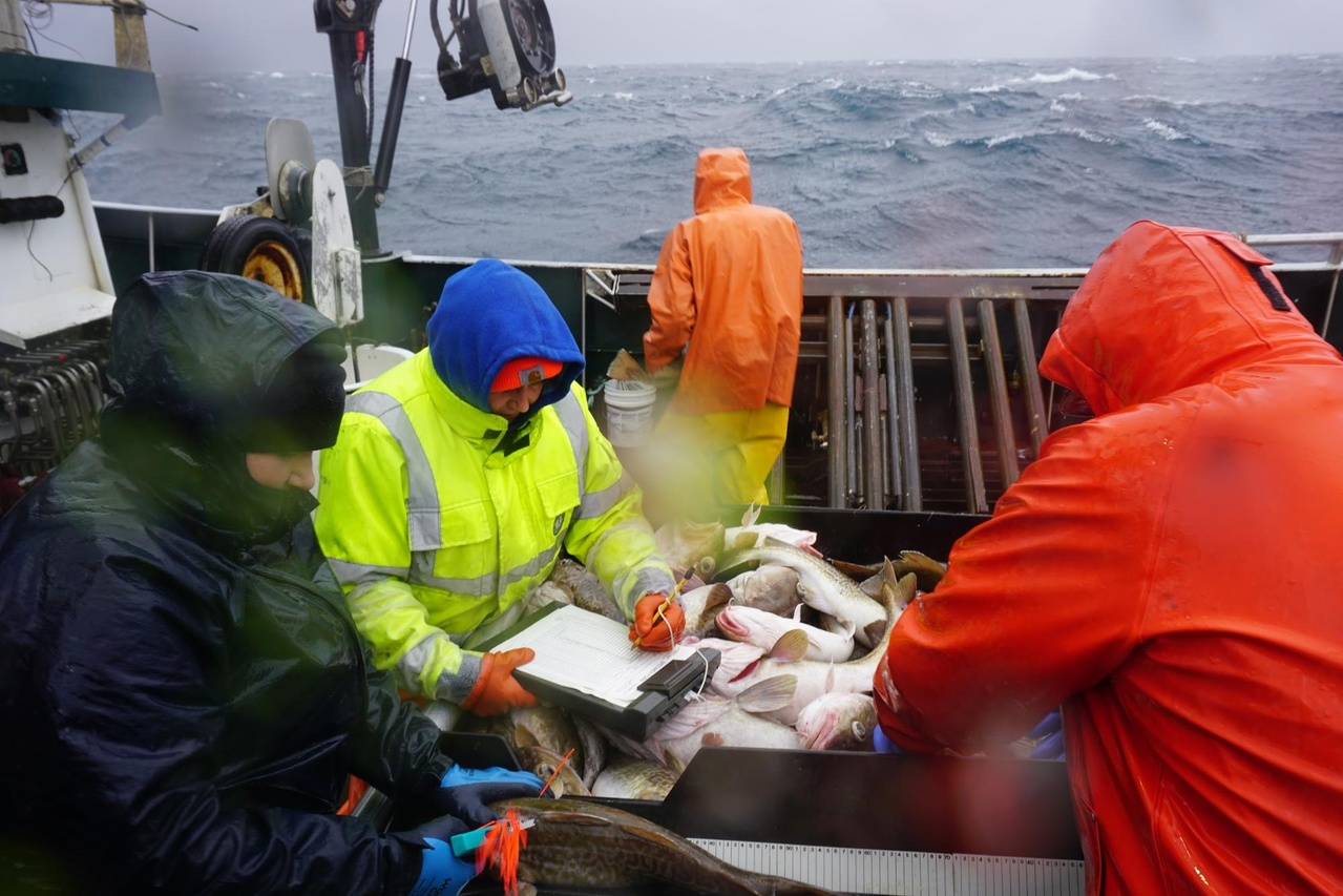 Susanne McDermott works with the crew of the F/V Deliverance to tag cod with conventional tags.