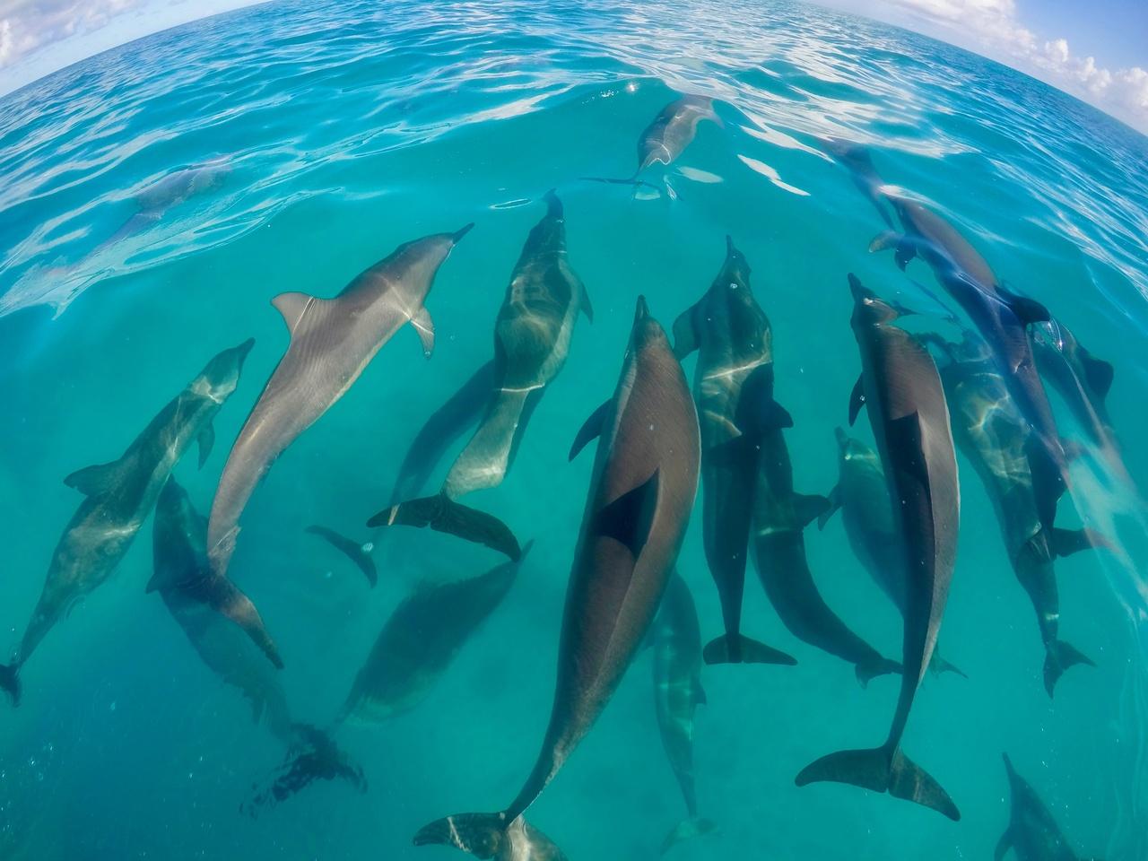 Bottlenose dolphins enjoy the ride as we transit to our next survey site on Kure Atoll. <i>Photo: NOAA Fisheries/James Morioka. </i>