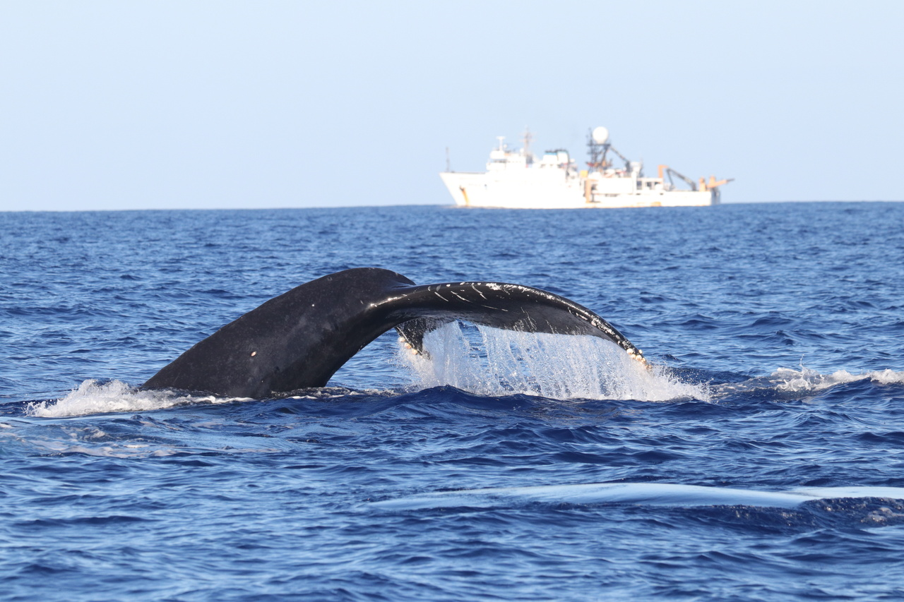 The project begins with many sightings of humpback whales in waters north of Kauai and Niihau. Here's a humpback whale seen in waters northwest of Niihau on January 21, 2020, with the NOAA ship Oscar Elton Sette in the distance. Photo: NOAA Fisheries/Andrea Bendlin.