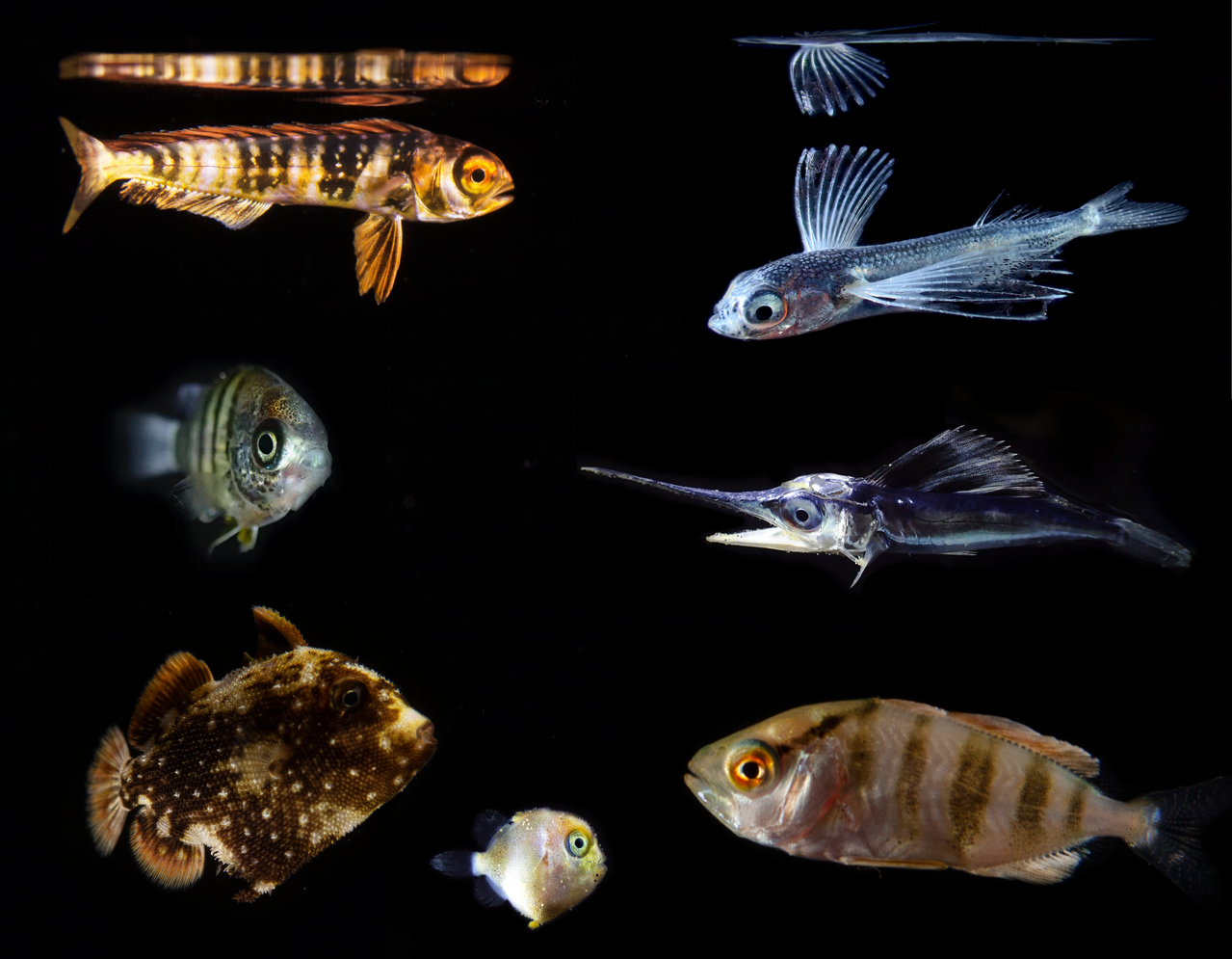 Often just weeks old, numerous larval fish had plastics in their stomachs, including mahi-mahi (top left), flying fish (top right), spearfish (middle right), jacks, (bottom right), triggerfish (two sizes, bottom left), and damsels (middle left). Photo: NOAA Fisheries/Jonathan Whitney.