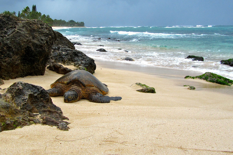 Basking green sea turtle on the beach.