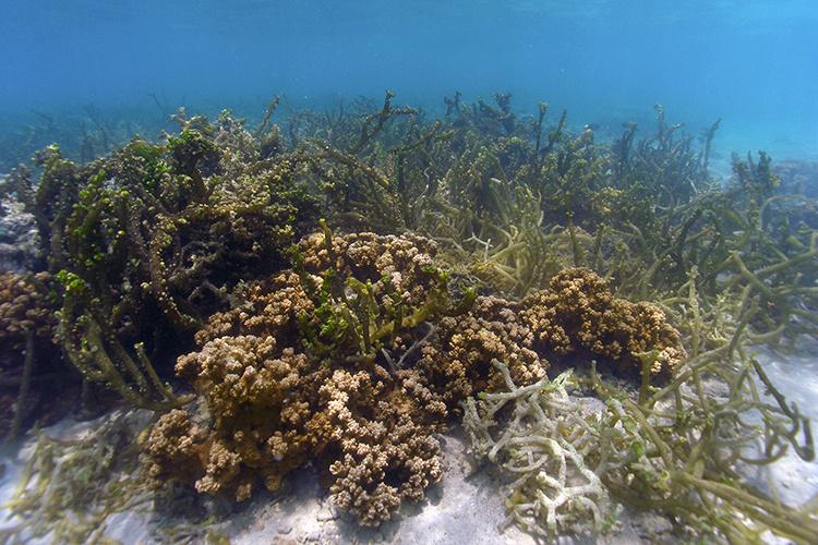 750x500-smoothering-seaweed-on-coral2-DAR.jpg