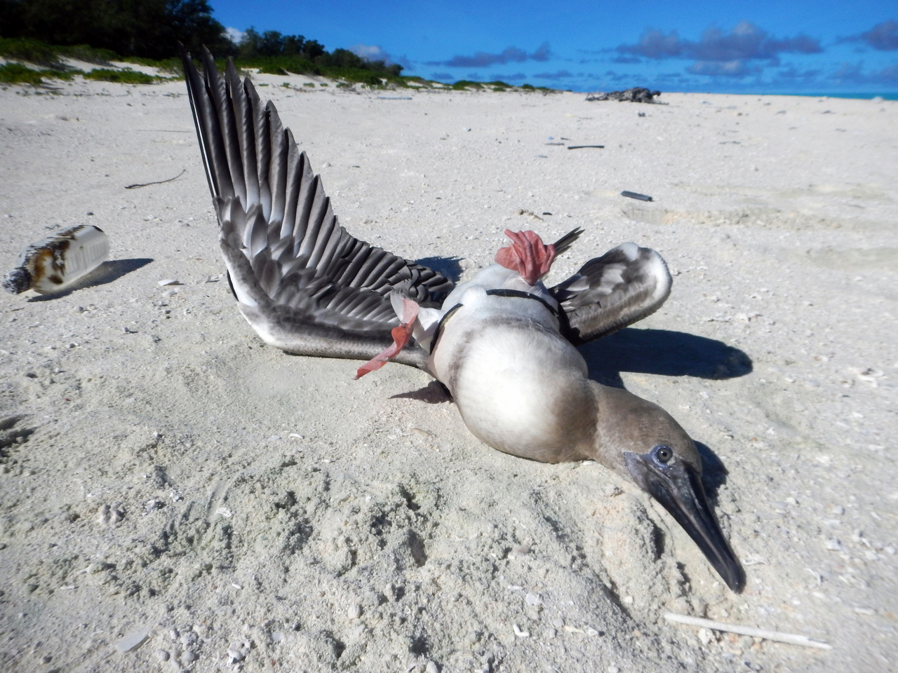 The booby bird found on Midway Atoll withit's wings pinned by a plastic ring from aneel cone trap