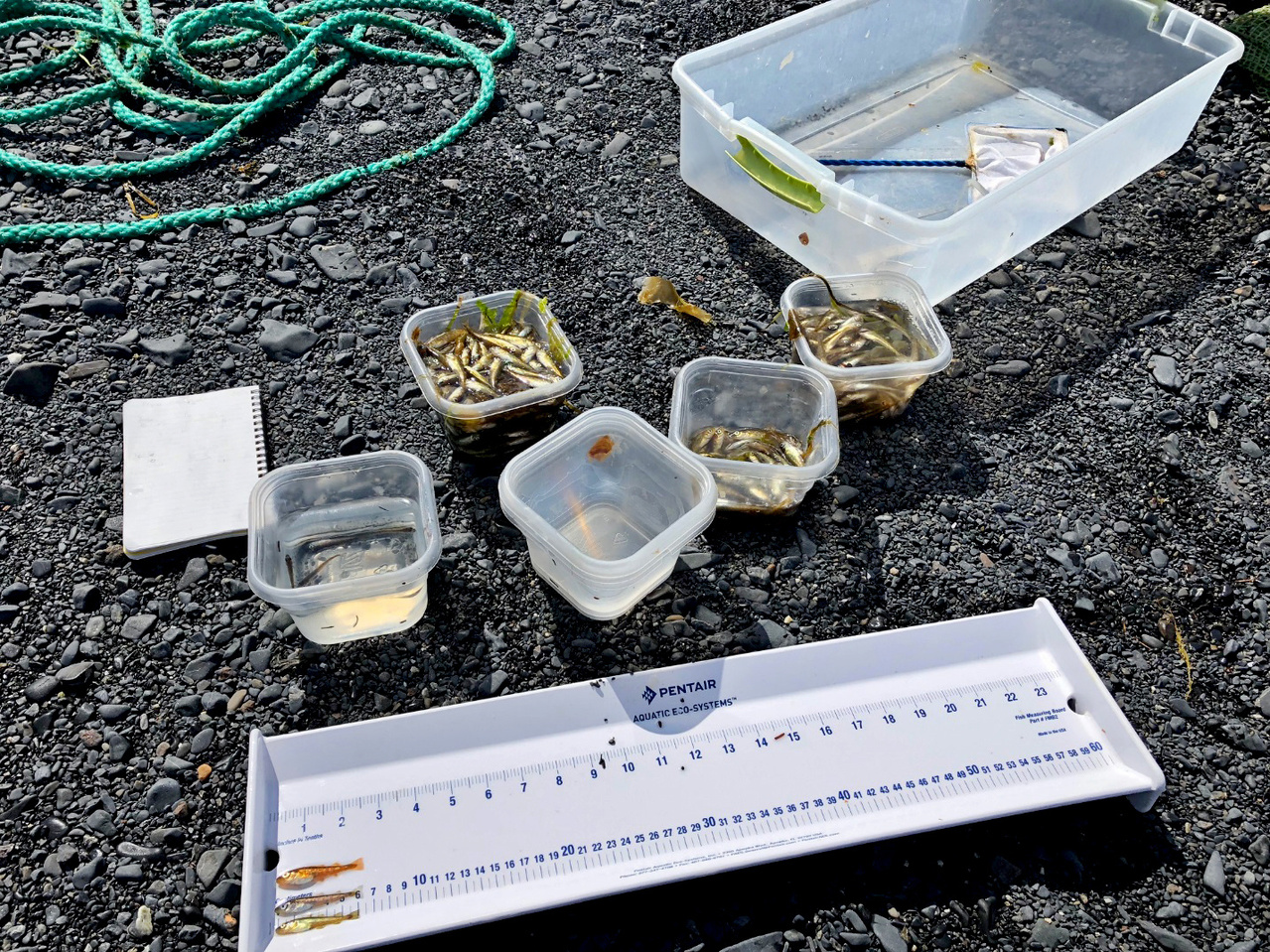 Juvenile fish are identified, sorted, counted and then measured.
