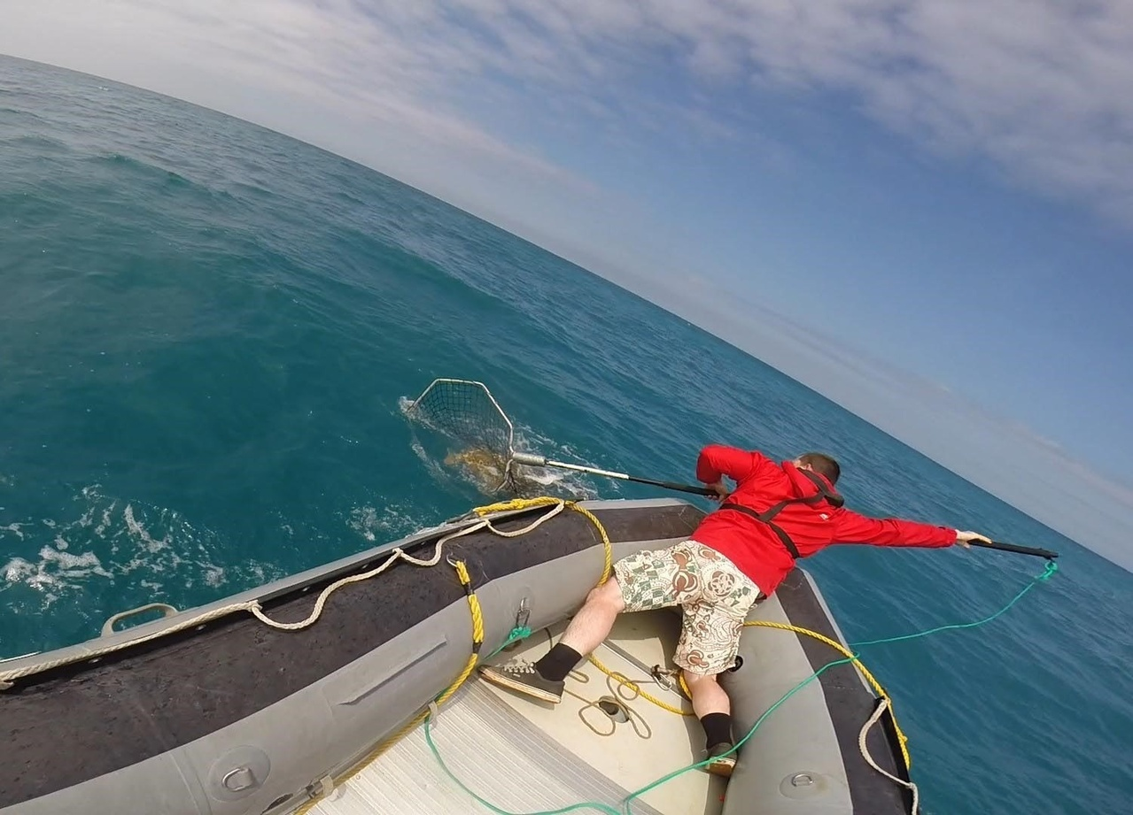 A man captures a loggerhead turtle with a net from a small inflatable boat