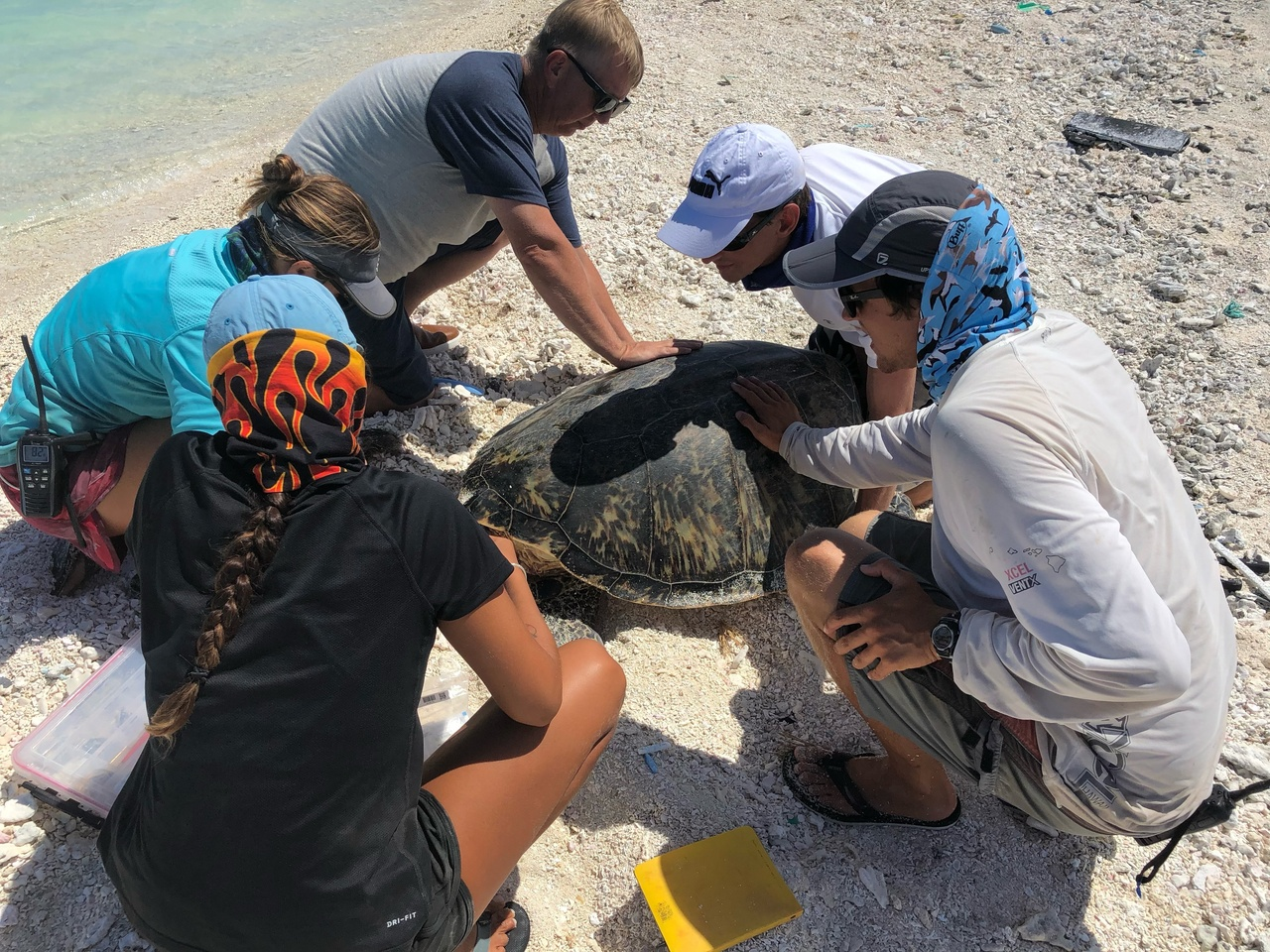 Researchers team up to tag a turtle at Pearl and Hermes Atoll.